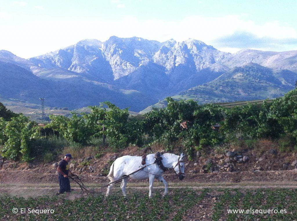 pimenton-ahumado-sequero-escardando-2014-1
