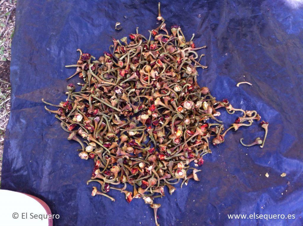 Pezones de pimiento retirados previo a la molienda