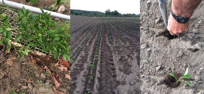 Trasplantado de los semilleros al pimental