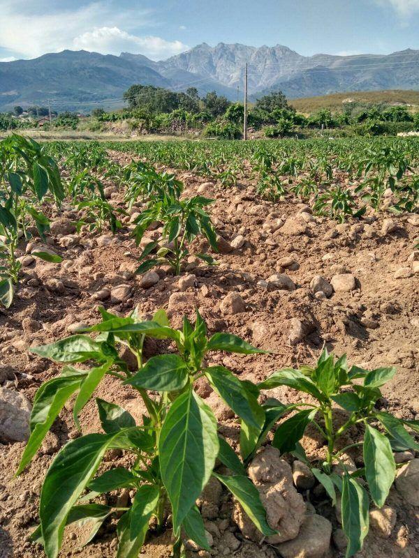 Plantas de pimientos para pimentón